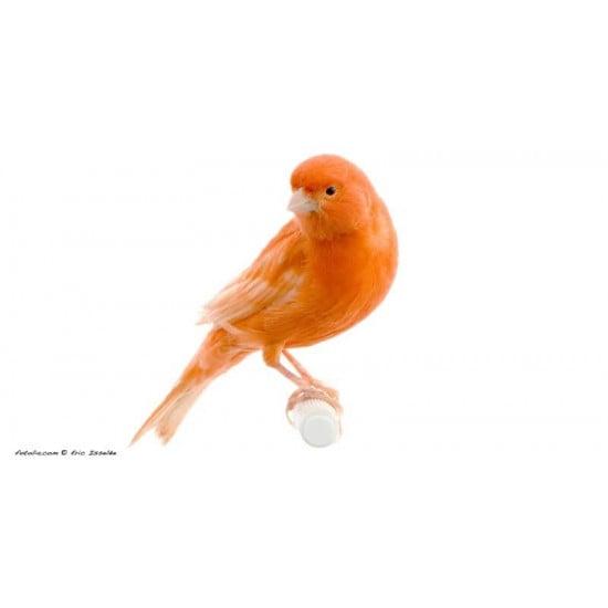 Canari Orange de  dans Nos conseils