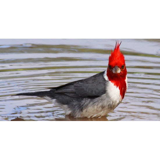 Cardinal a Huppe rouge