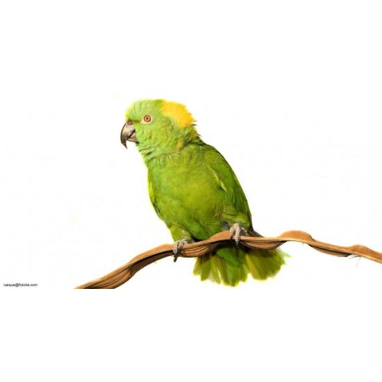 Amazone à nuque jaune