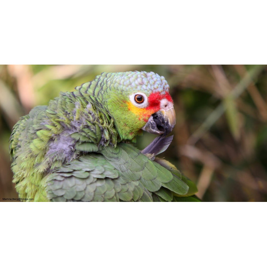 Amazone front rouge de  dans Les Perroquets
