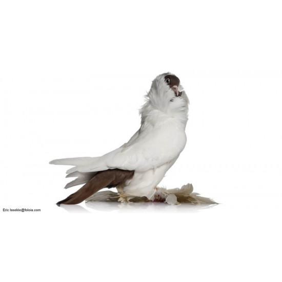 Pigeon Capucin de  dans Nos conseils