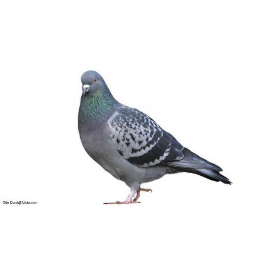 Pigeon Mondain de  dans Nos conseils