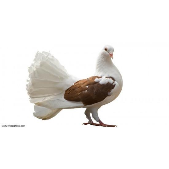 Pigeon paon de  dans Nos conseils
