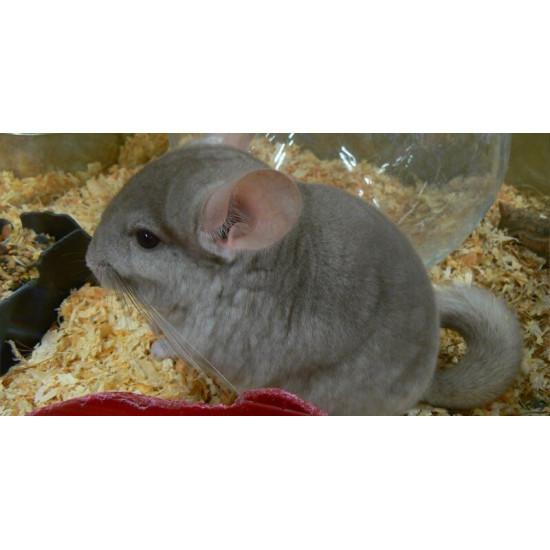 Chinchilla Isabelle