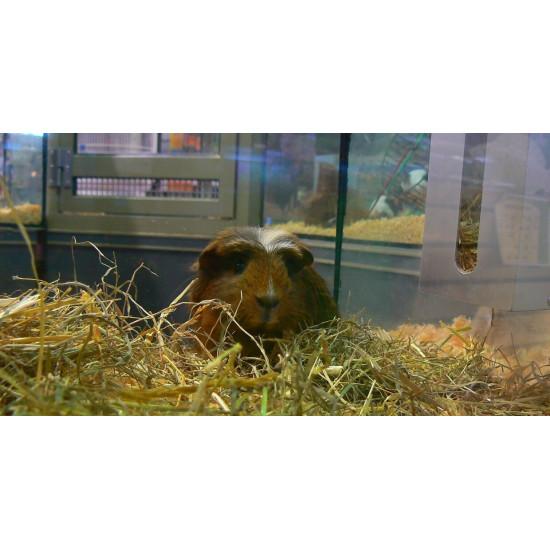 Cochon d'inde Couronné