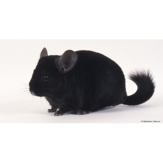 Chinchilla Noir