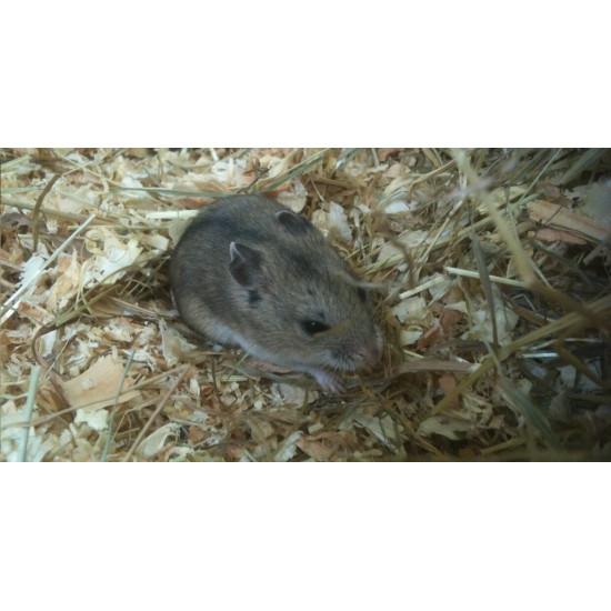 Hamster Chinois de  dans Les Hamsters
