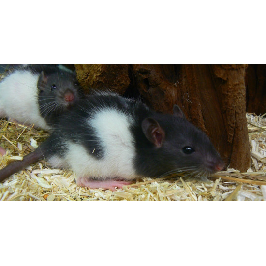 Rat coloré