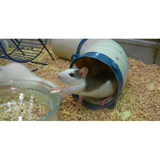 Rat husky de  dans Nos conseils