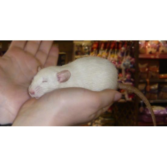 Rat dumbo de  dans Nos conseils