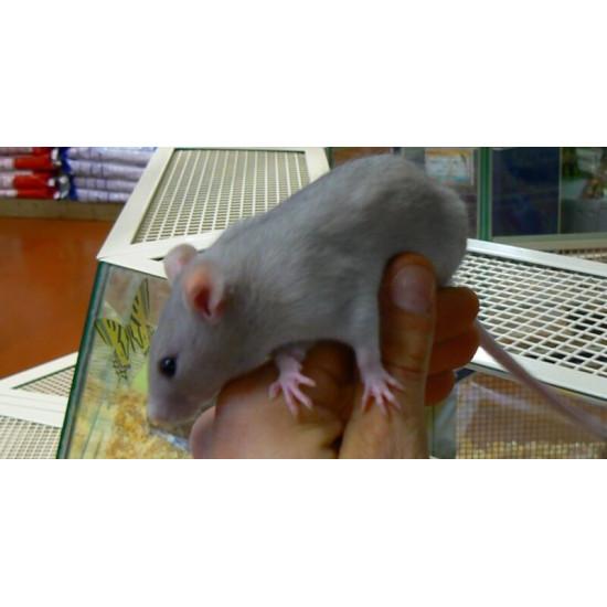 Rat bleu de Jardinerie Bordeaux Libourne Gironde dans Les Rats