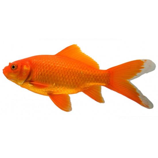 nos conseils sur poisson rouge disponible dans nos animaleries sur. Black Bedroom Furniture Sets. Home Design Ideas