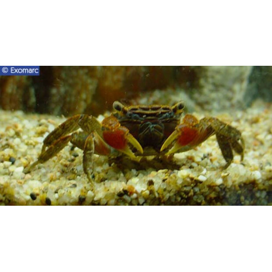 Crabe a pinces rouge