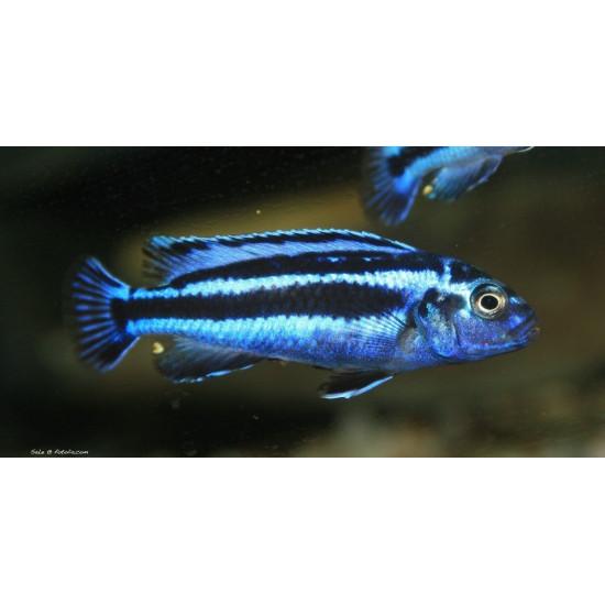 Melanochromis bleu