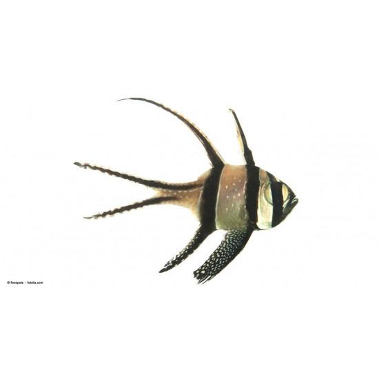 Pterapogon kaudernii
