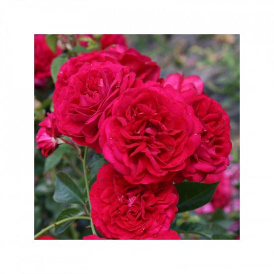 Rosier rose de bordeaux