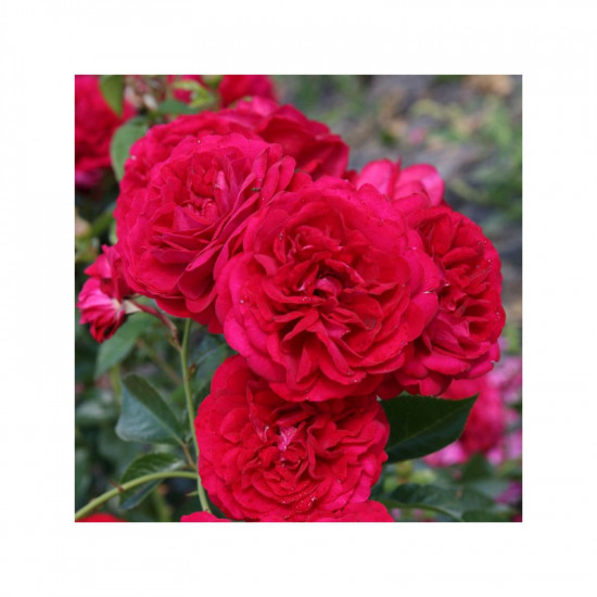 Rosier rose de bordeaux